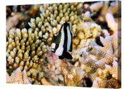 Whitetail Dascyllus in a variety of corals