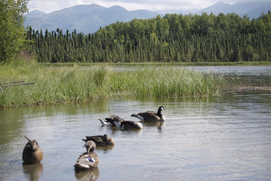 Geese at Goose Lake