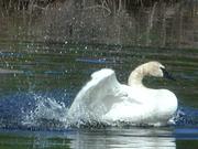 Splashing Swan