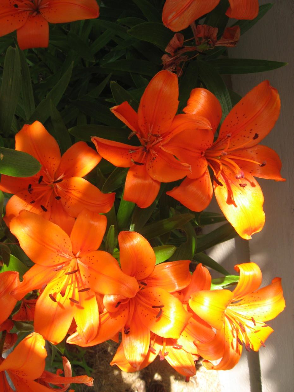 Fire Lilies