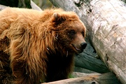 Grizzly making a bed