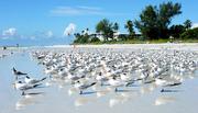 Sanibel formación de aves marinas.