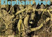ElephantTreeLouiseGainsweb