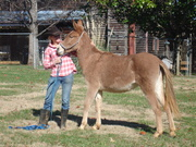 Cerise, Mule out of saddle stock, seems to be gaited.