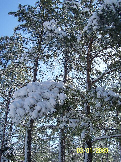 Many Cedars