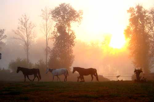 Horses, misty morn at home