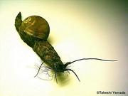 Giant Bearded Snail