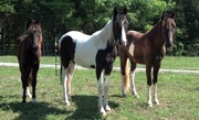 Three walking colts for sale