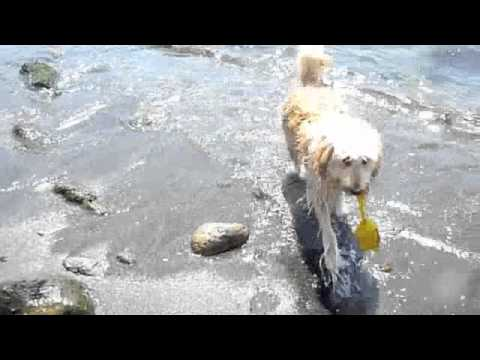 goldendoodle in the sea