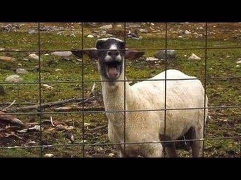 Goat Music Dedicated TOoo