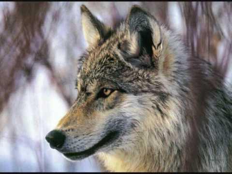 """Légende amérindienne : """"Les deux loups"""" – Une belle histoire à méditer"""
