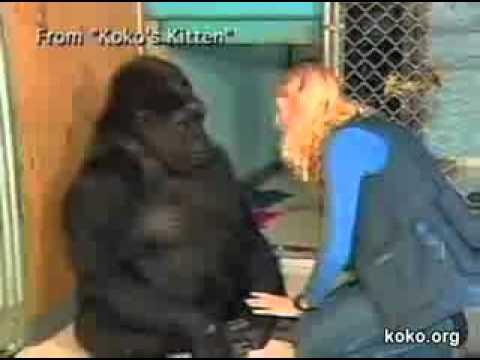 Amitié entre un gorille et un chaton