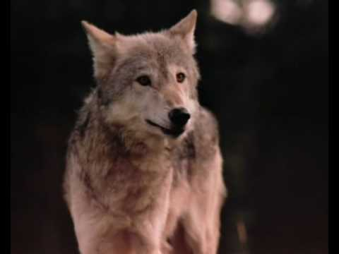 Wolf - Help Wolves 2!