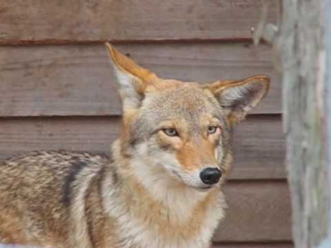 Canis Rufus, Red Wolves