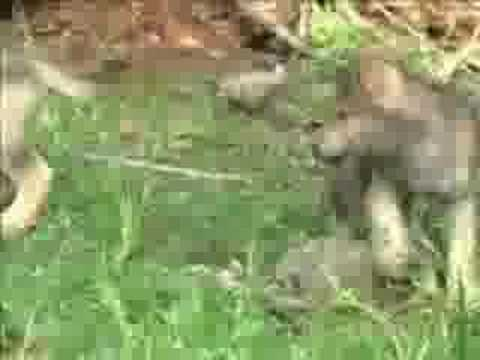 Wolf - Help Wolves!