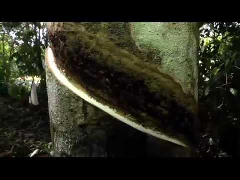 Pesquisadores da Embrapa produzem seringueira resistente a fungos