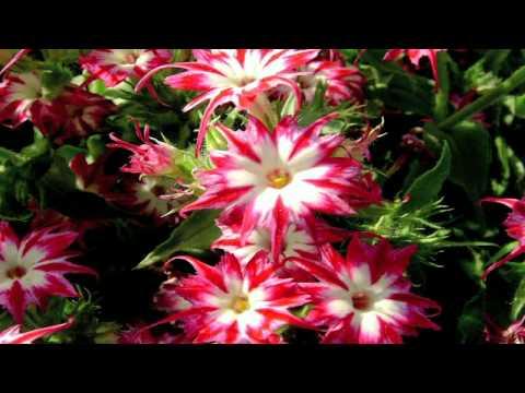 Gardening Tips : How to Grow Annual Phlox (Phlox Drummondii)