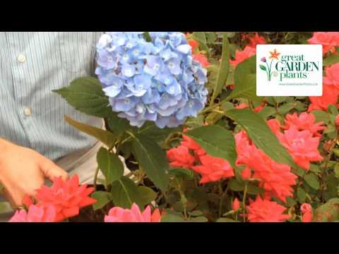 Hydrangea Endless Summer - Blooms from Summer-Frost
