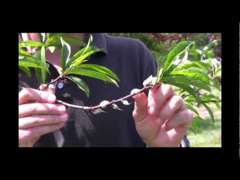 Benefits of Fruit Thinning: Thinned Fruit vs. Non-Thinned Part 1 - Gurney's Video