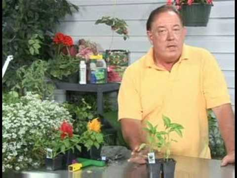 Gardening Plant Care : Bell Pepper Plant Care