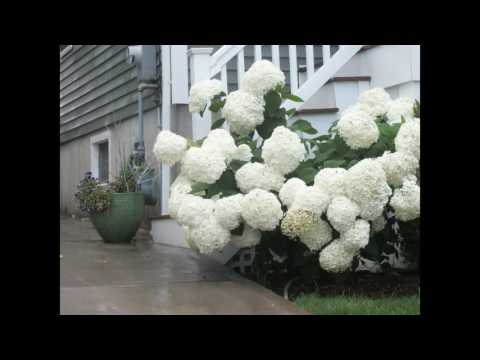 Lone Hydrangeas