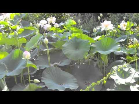 Exquisite Water Lilies