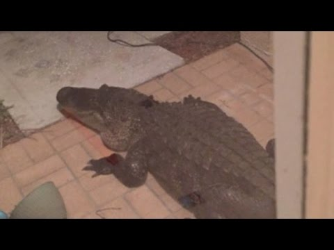 Dad Wakes Up to Find 10-Foot Alligator Knocking at Front Door