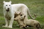 correction_mexico_white_tigers_mom-kids