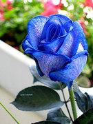 6332851_blue_rose
