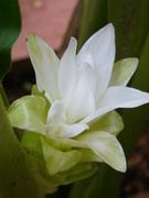 flor do açafrão