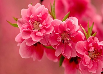 Wonderful%20pink%20flowers%20Wallpaper__yvt2