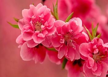 Wonderful%20pink%20flowers%20Wallpaper__yvt2