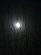 The moon tangled in the branches of the fruit tree tonight...