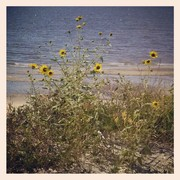 Wildflowers on the Dune