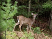 Whitetail Deer in Eagle River WI