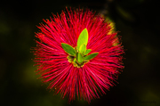 Botelborsel (Bottle Brush)