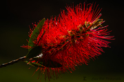 Botelborsel (Bottle Brush) ander hoek