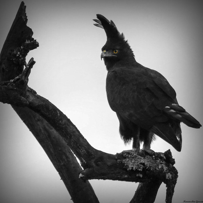 Long crested eagle/Langkuif arend