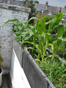 Sweet Sweet corn, dwarf green beans and a chilli plant lurking in the background