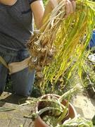 2014 William Saville Allotment harvest- lovely garlic