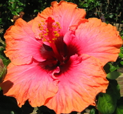 HIBISCUS-BRIGHT ORANGE