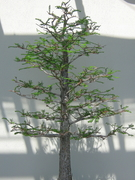 THIS IS A BONSAI PINE