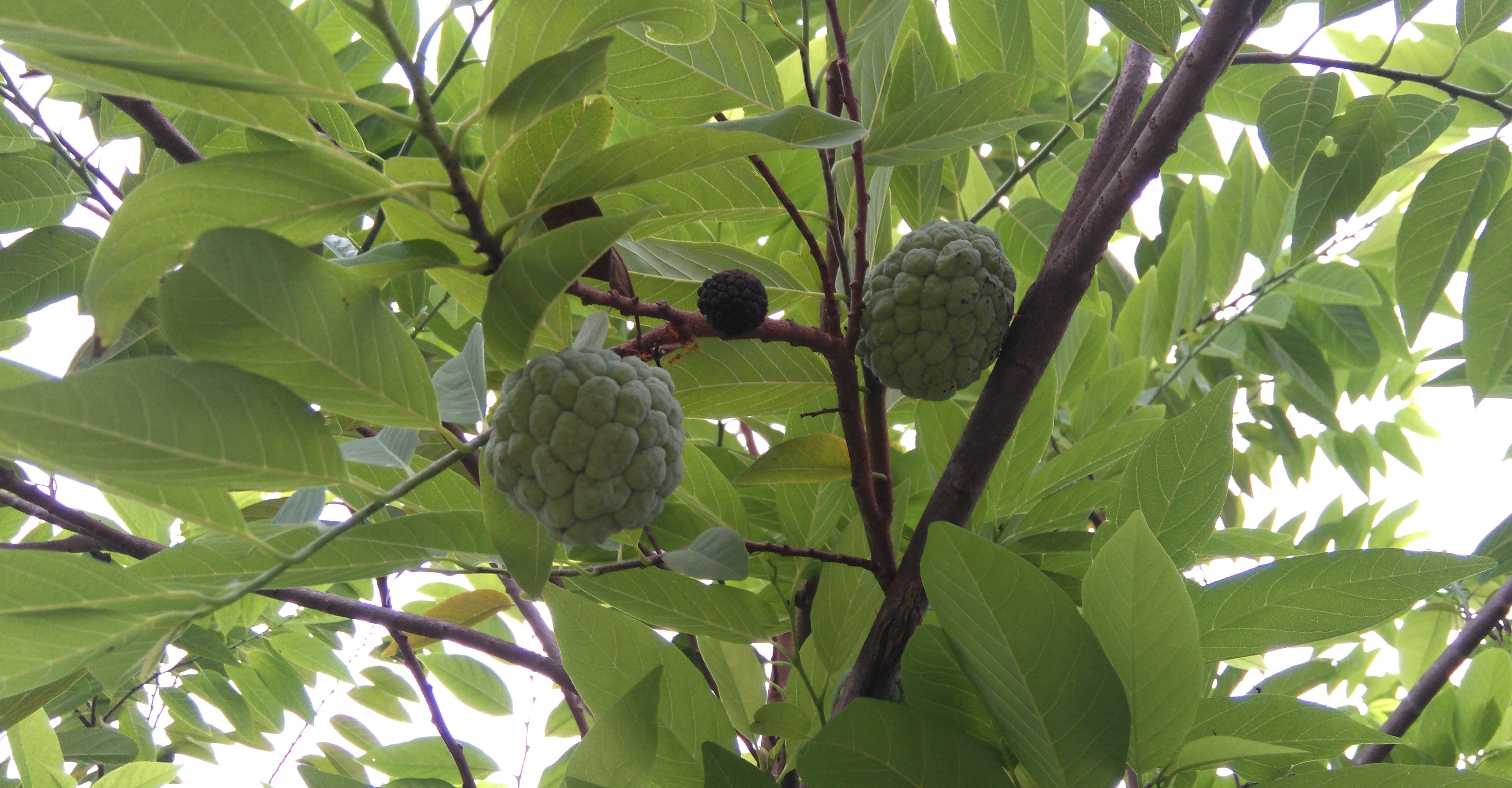 Sugar-apple