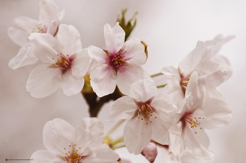 Sakura - Meguro