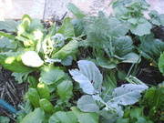 Brassica and onion beds