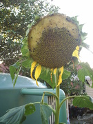Sunflowers from bird seed