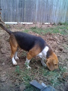 The beagle gardener inspecting the site