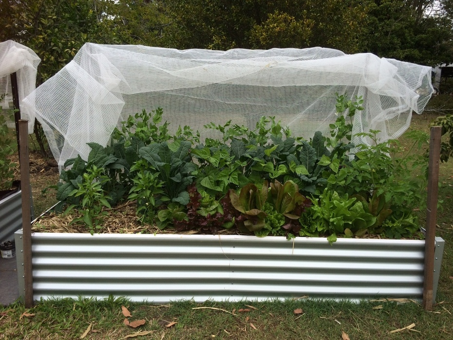 Wicking beds: 5 weeks of growth (from seedling)