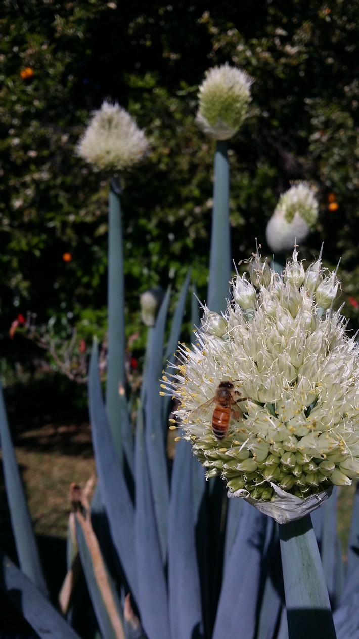 Bees on spring onion seed head