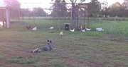 The duck and chook enclosure.